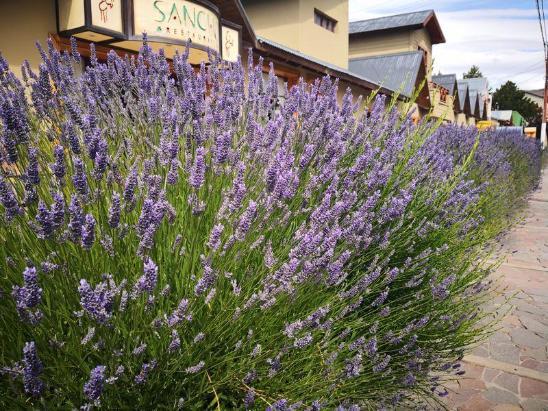 Blühender Lavendel in El Calafate